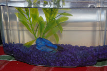 """Fishy"" the lonely Betta fish"