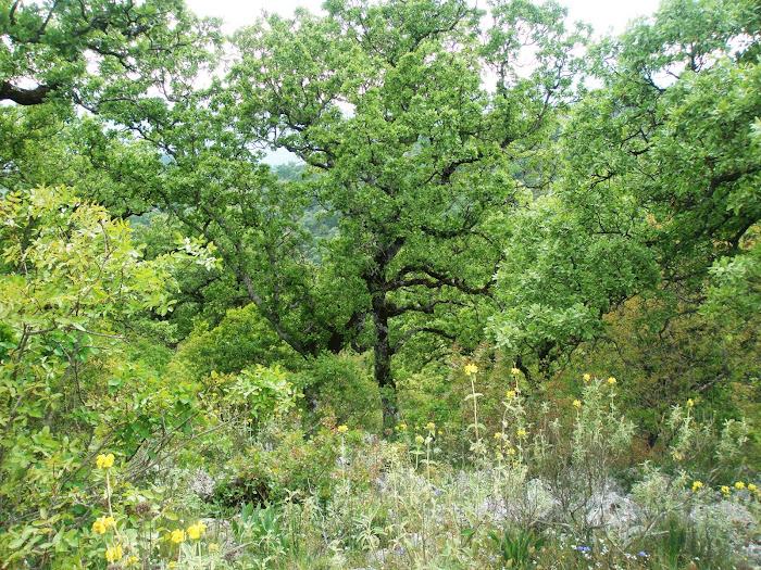 λαμπρο πρασινο φως [ δασος βελανιδιας] στο υψωμα δεξια διασταυρωση Αγρινιο -Λιγοβιοτσι [ Ξηρομερο]