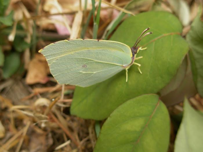 η πεταλουδα στον κηπο μας [ Μαχαιρα Ακαρνανιας ]