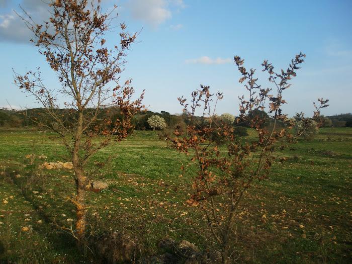 Τοπια του Ξηρομερου [μικρες βελανιδιες , στην Αθανου ] Μαχαιρα Ακαρνανιας