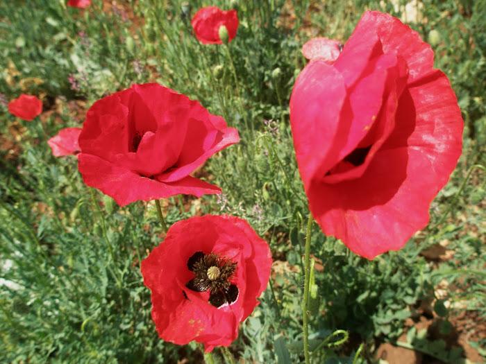 χωραφι με παπαρουνες [ στη Πεταλι ] Μαχαιρα Ακαρνανιας
