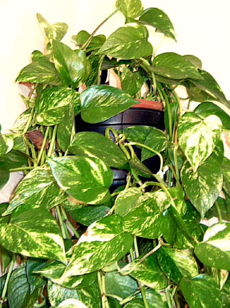 Pothos plant poisonous for Plante verte tombante interieur