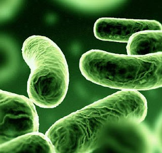 bakteri legionella, legionella, gambar bakteri legionella