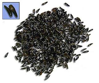 habbatussauda sebagai penyubur kandungan herbal