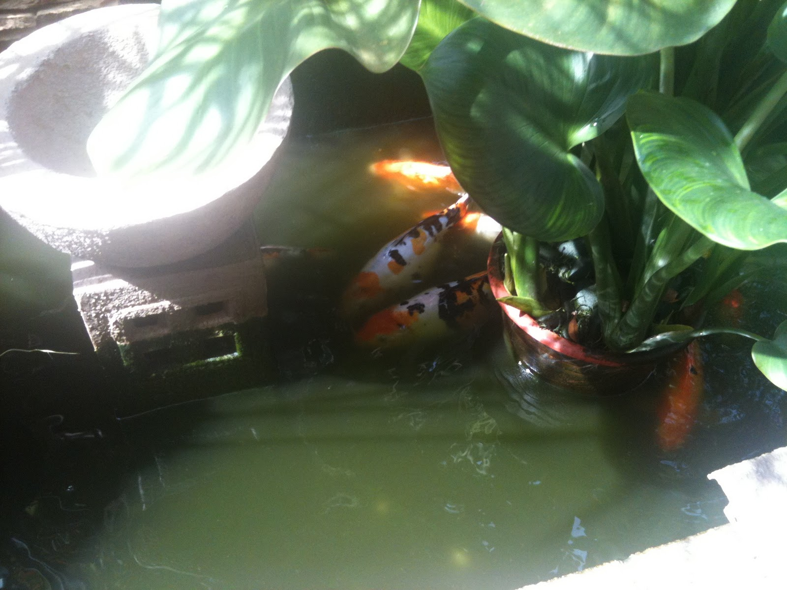Day2day morning coffee cleaning the fish pond for Koi pond water murky