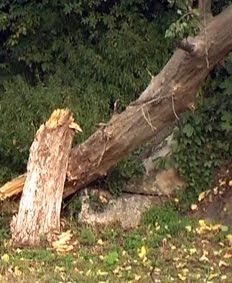 Copac+cazut+2 Copac prăbuşit pe Calea Dacia din cauza... bătrâneţii