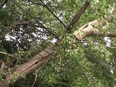 Copac+cazut Copac prăbuşit pe Calea Dacia din cauza... bătrâneţii