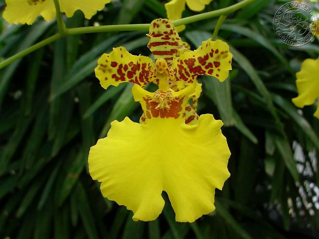 Dancing Lady Orchid Oncidium Spp