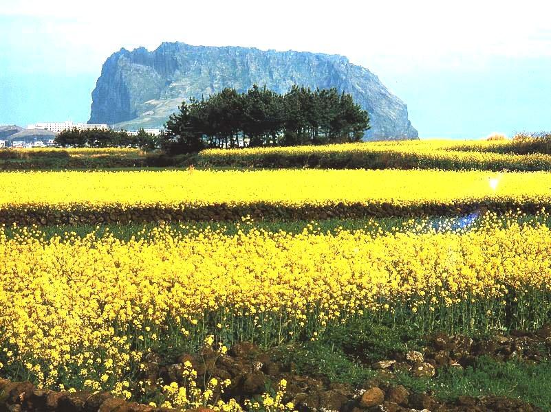 Plants: Yellow rape flowers in Jeju Island
