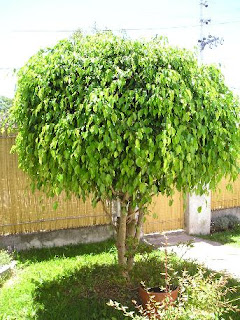 Huertop a paulownia un s per rbol p for Arboles para jardin que den sombra