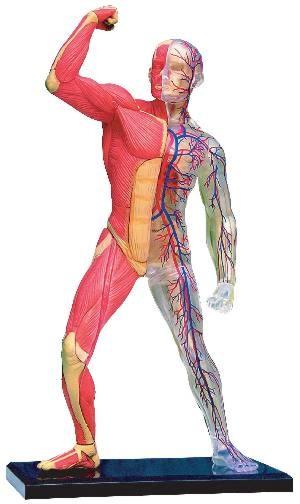 human body heart. The Wonderful Human Body