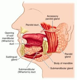 Anatomy of Oral Cavity PDF http://learn-free-medical-transcription.blogspot.com/2009/02/lesson-56-oral-cavity-anatomy-and.html