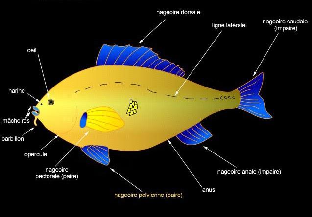 nanozine la syst matique et la classification des poissons r cifaux le magazine des fondus des. Black Bedroom Furniture Sets. Home Design Ideas