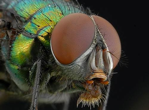 Fly Macro Photography