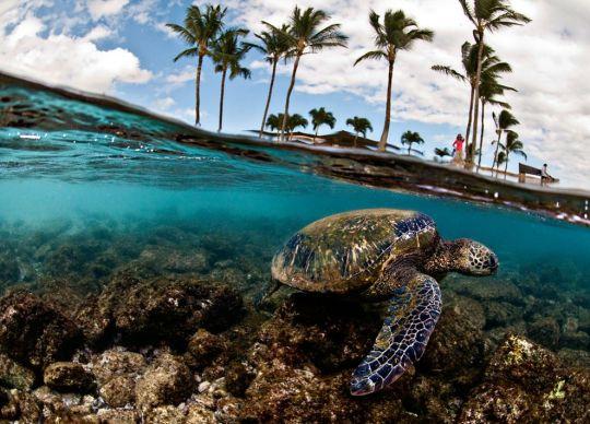 Green Sea Turtle by Lorenzo Menendez