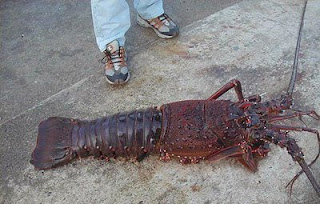 Biggest Lobster