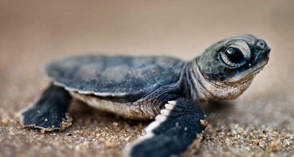 TurtleHatchling EN AU407919738