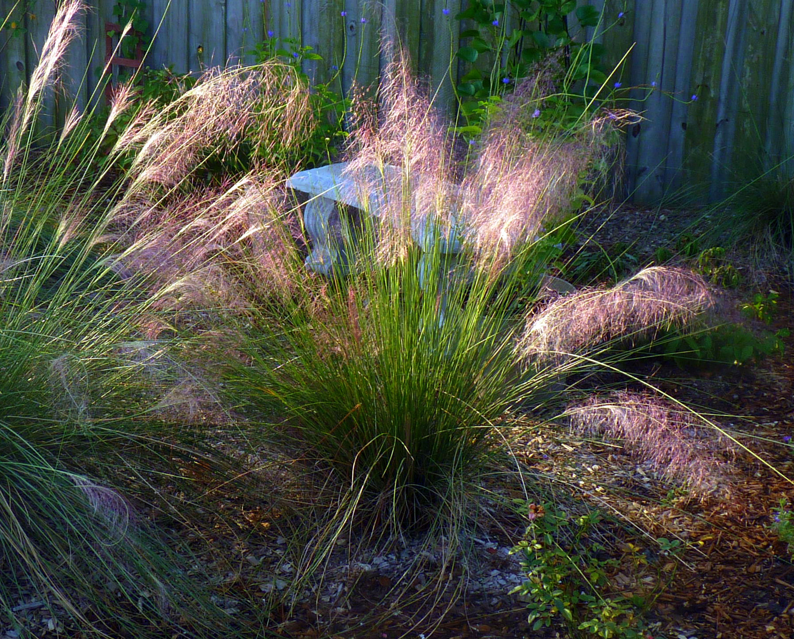 Ornamental Grasses Florida My florida backyard morning glow my florida backyard workwithnaturefo
