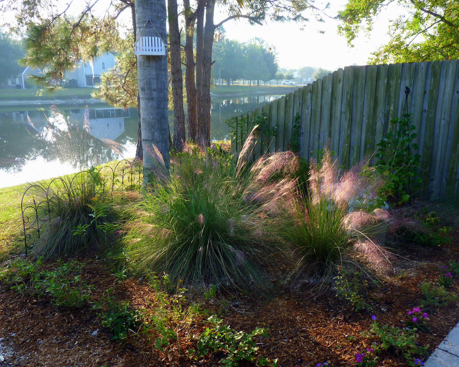 Ornamental Grasses Florida My florida backyard morning glow if youre a fan of ornamental grasses muhly grass muhlenbergia capillaris is one you simply must have a foolproof florida native muhly grass is green workwithnaturefo