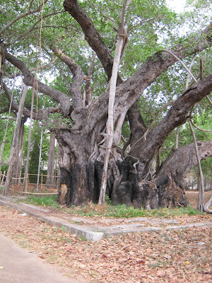 Old Banyan Tree