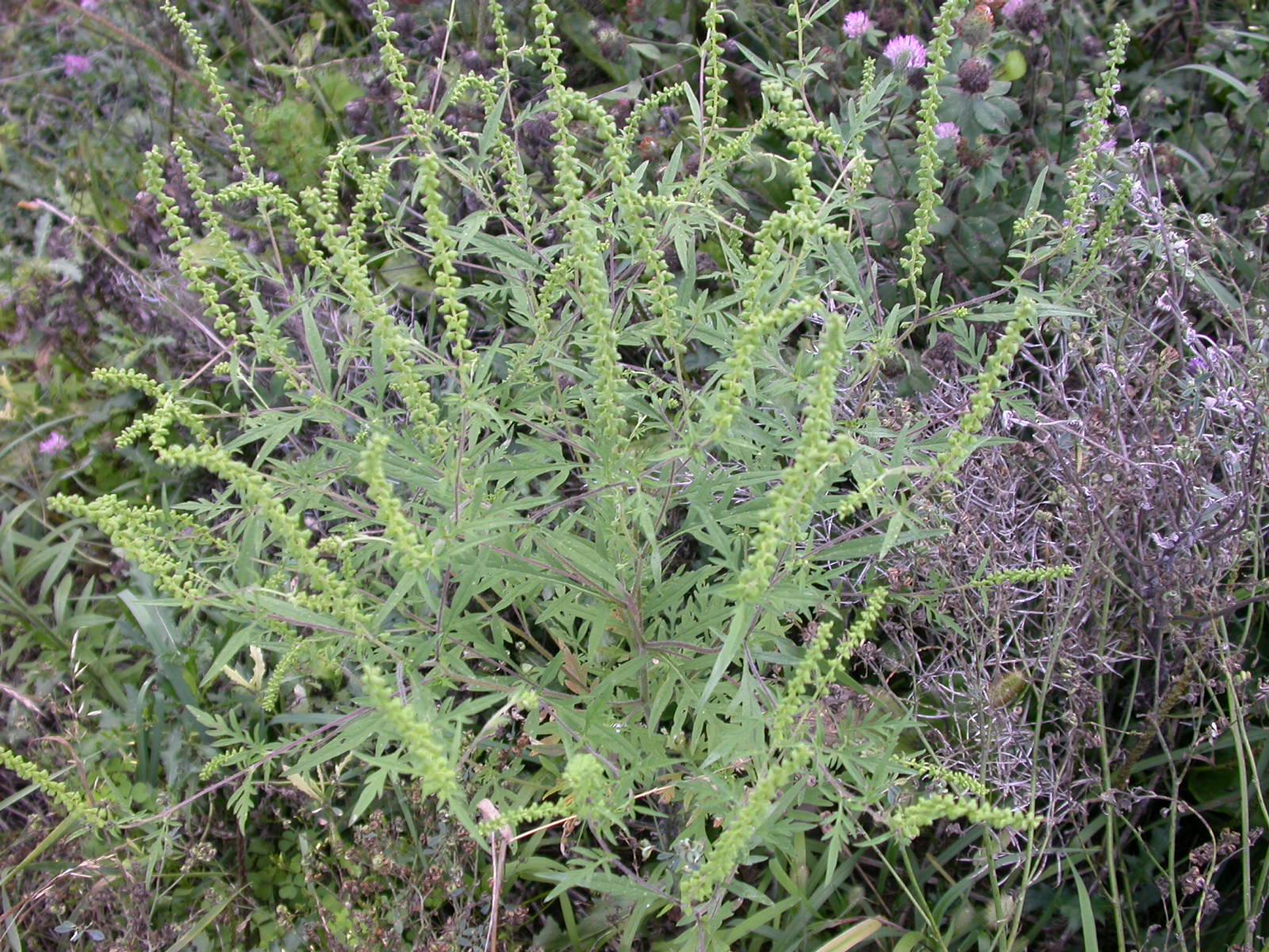 Top 28 What Does Ragweed Look Like My Carolina Yard
