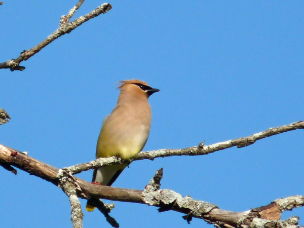 Lisa Stevens captured this photo of a Cedar Waxwing on our walk in Tunbridge on June 29th.