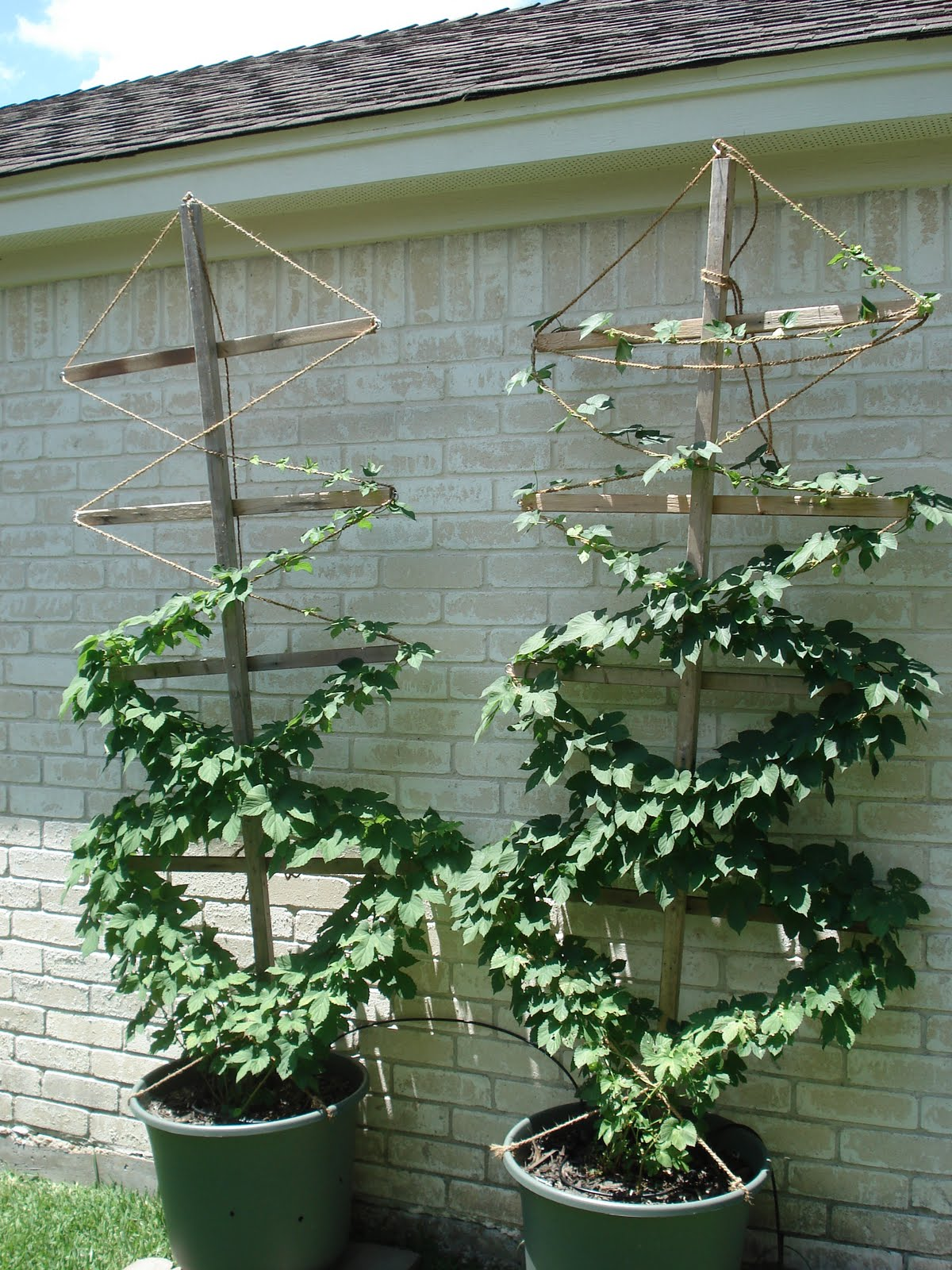 Hops in pots hop cones on both plants for Hops garden designs
