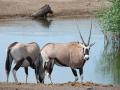 Oryx at the watering hole