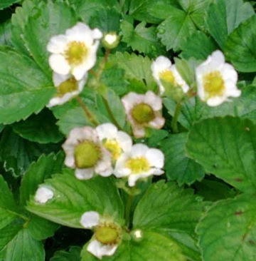 Midsummer Garden Flowers &