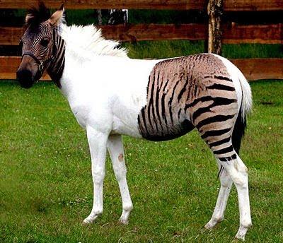 cheval/zèbre