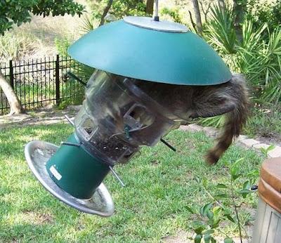 Un raton laveur n'est pas un oiseau