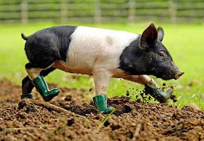 Cochon à bottes
