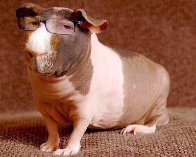 Cochon d'Inde sans poil