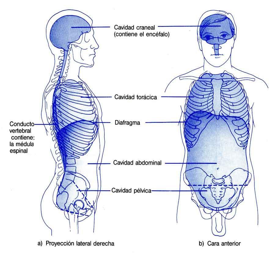 Biologíapuntocom: Cavidades Corporales