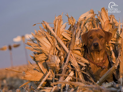 polskisport   pictures of duck hunting dog wallpaper