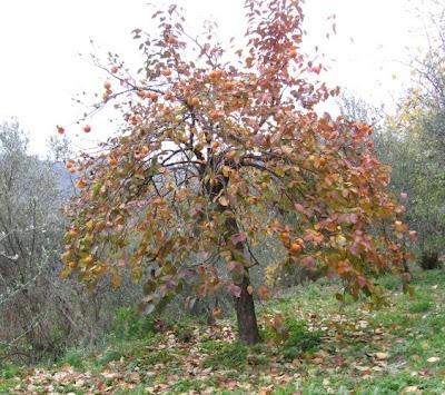 Alla casa col cancello giallo l 39 albero di cachi for Albero di cachi