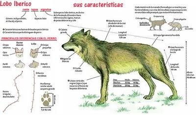 Lobo astur ecolog a del lobo for Muebles los leones valencia