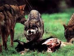 Lobo astur el lobo verdades y mentiras for Muebles los leones valencia