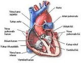The Part of Cardiovascular