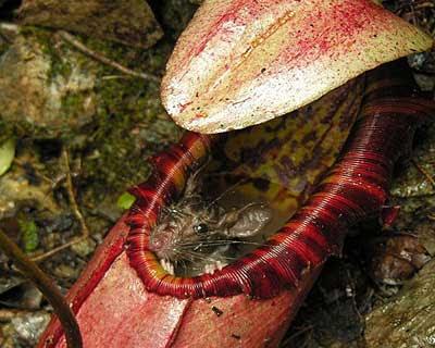 pianta carnivora mangia topo foto