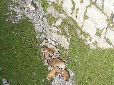 mucche suicide Alpi Svizzere foto