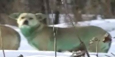 Russia wild dogs turn green photo cani verdi foto