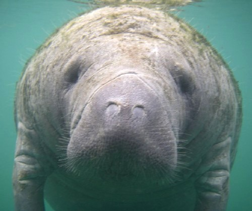 here s the range of the manatee from