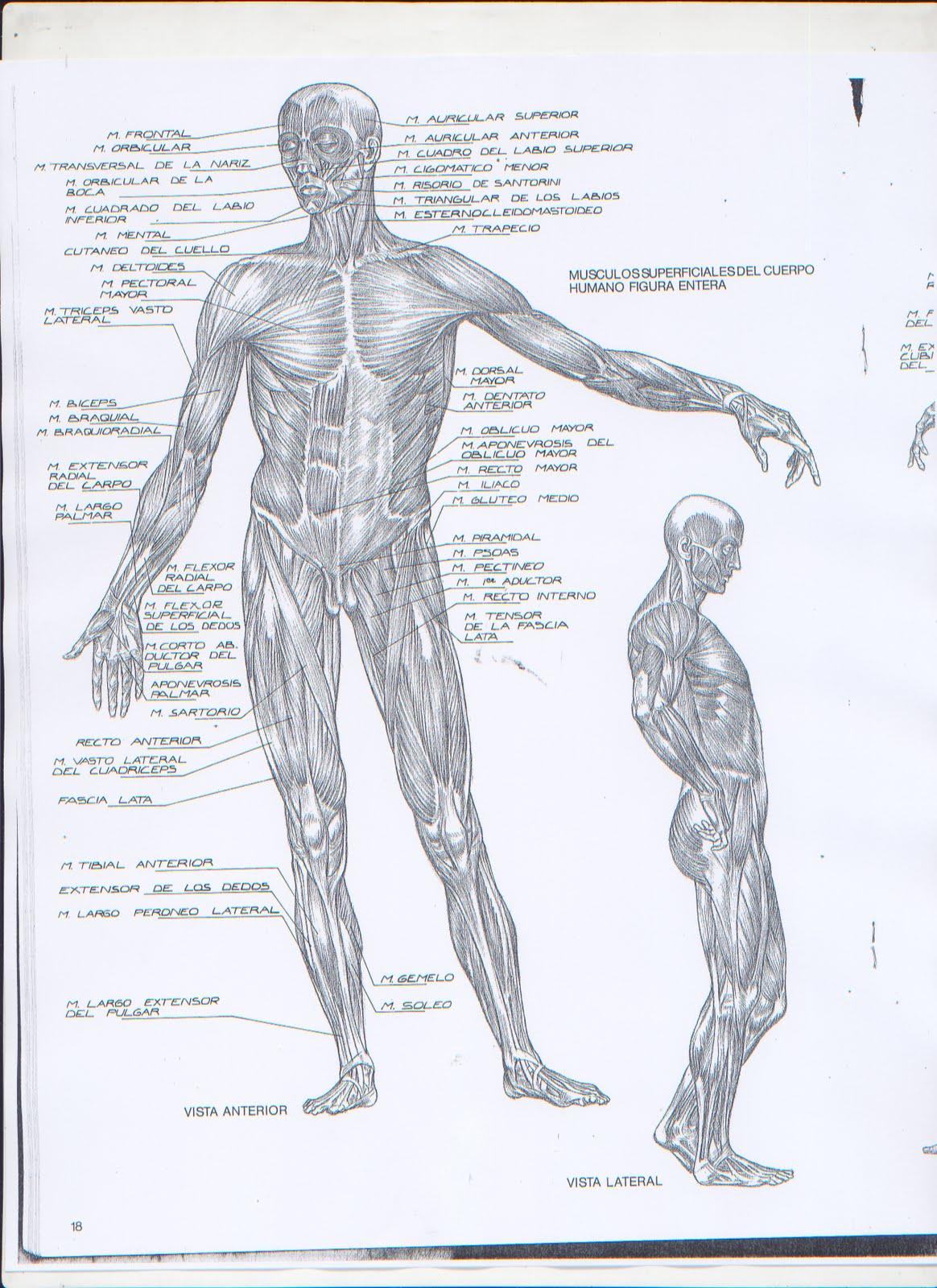 Tecnicas de dibujo: Figura Humana. Anatomia 2