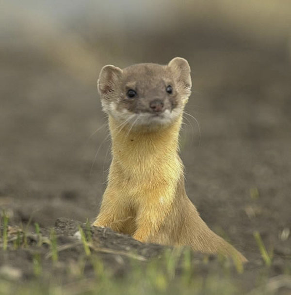 wallpapers of animal weasel photos