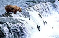 orso e salmoni