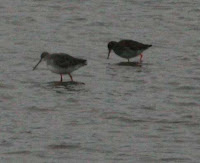 Spotted and common Redshank
