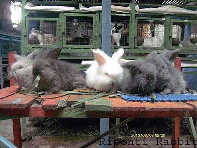 kelinci angora