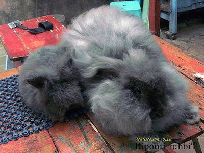 kelinci jenis angora