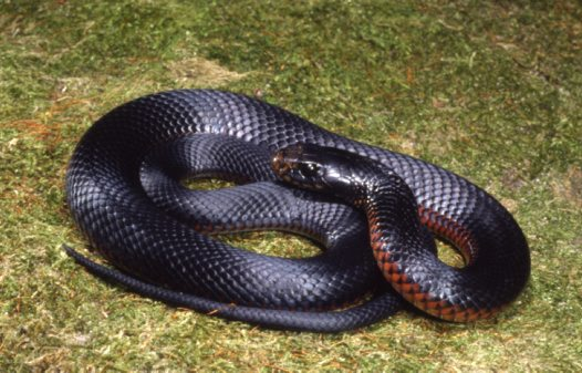 Red bellied Black Snake big
